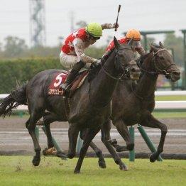 【神戸新聞杯】不良馬場を味方にステラヴェローチェ重賞2勝目